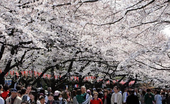 Japan during Spring- japan spring hanami