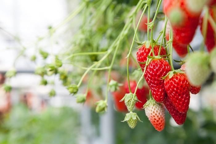 Japan during Spring - Japan spring strawberry picking