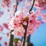 Spa Promotion - Spring into Sakura Season 2021